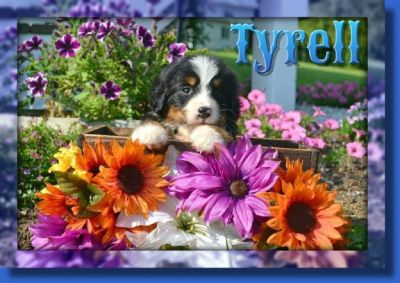 Tyrell Male Bernese Mountain Dog AKC