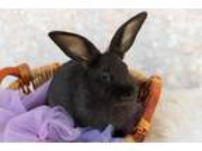 Adopt 190693 Lucky Licorice a Black Rex / Mixed rabbit in Wetumpka
