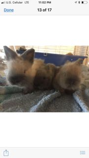 Lionhead and lop bunnies for sale