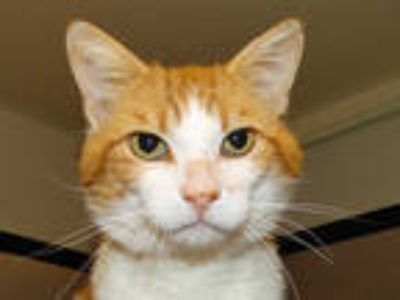 Adopt CLIFF a Orange or Red (Mostly) Domestic Shorthair / Mixed (short coat) cat