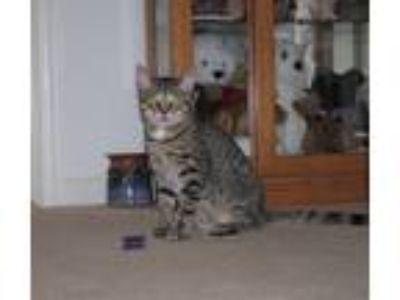 Adopt Freddie a Domestic Short Hair