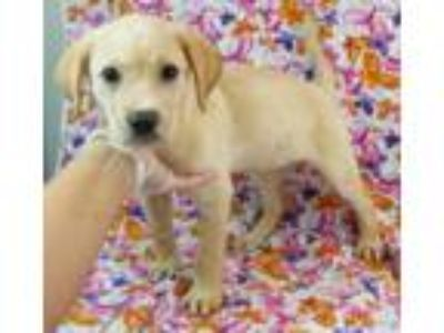 Adopt Blondie a Labrador Retriever