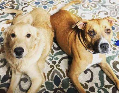 Boxer-Golden Retriever Mix DOG FOR ADOPTION ADN-104895 - Bonded Golden Retriver and Boxer Mix in Dallas TX