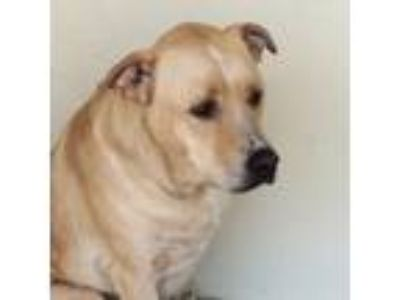 Adopt Sawyer a Tan/Yellow/Fawn Labrador Retriever / Affenpinscher / Mixed dog in