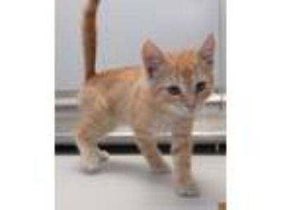 Adopt 41998175 a Domestic Short Hair