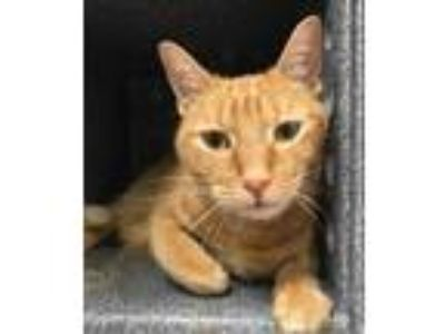 Adopt Yellow a Orange or Red Domestic Shorthair / Domestic Shorthair / Mixed cat