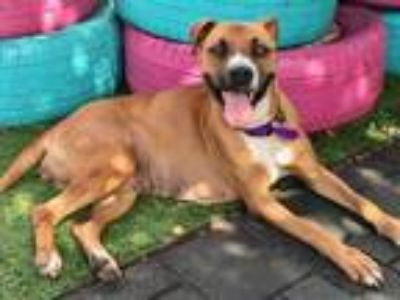 Adopt Carly a Tan/Yellow/Fawn - with White Boxer / Mixed dog in Dallas