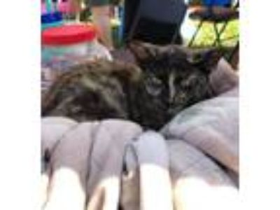 Adopt Lexus the Cat* a Domestic Shorthair / Mixed cat in Tampa, FL (25361815)
