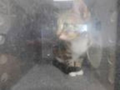 Adopt GINGER a Brown Tabby Domestic Shorthair / Mixed (short coat) cat in