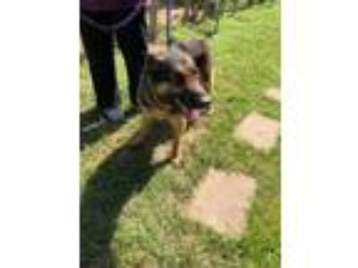 Adopt Troy a Black - with Tan, Yellow or Fawn German Shepherd Dog / Mixed dog in