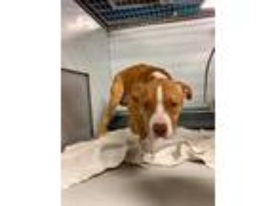 Adopt Crusoe a Tan/Yellow/Fawn American Pit Bull Terrier / Mixed dog in Kansas