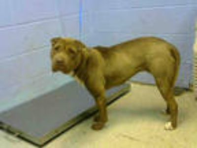 Adopt MISSY a Brown/Chocolate Shar Pei / American Pit Bull Terrier / Mixed dog