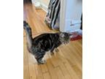 Adopt Jewel a Spotted Tabby/Leopard Spotted American Shorthair cat in Chicago