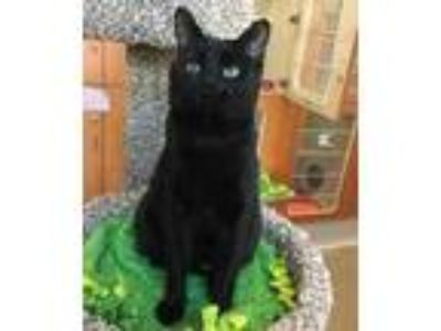 Adopt Walnut a All Black Domestic Shorthair / Domestic Shorthair / Mixed cat in