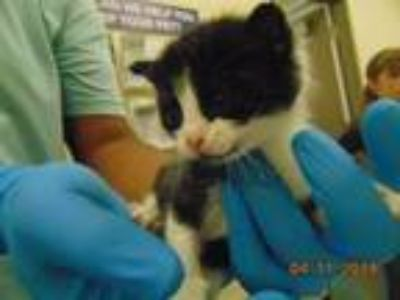 Adopt JOJEN a Domestic Short Hair