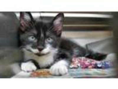Adopt RUFUS a All Black Domestic Longhair / Domestic Shorthair / Mixed cat in