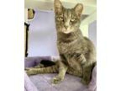 Adopt Snake a Gray or Blue Domestic Shorthair / Domestic Shorthair / Mixed cat