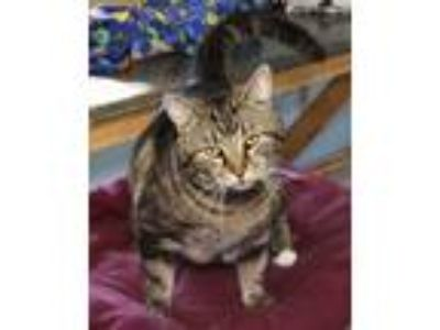 Adopt Jingles a Domestic Short Hair, Bengal