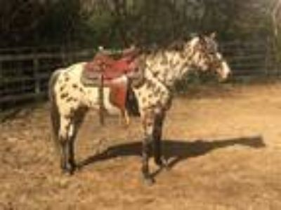 Leopard registered POA mare