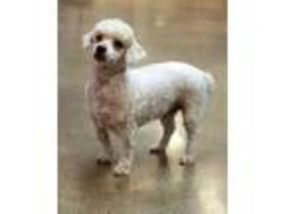 Adopt Baylor a White Poodle (Miniature) / Mixed dog in Waco, TX (25621412)
