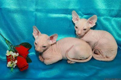 Punctual Sphynx Kittens