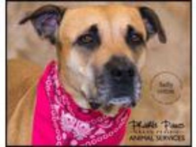 Adopt SALLY a Tan/Yellow/Fawn - with White Labrador Retriever / Mixed dog in