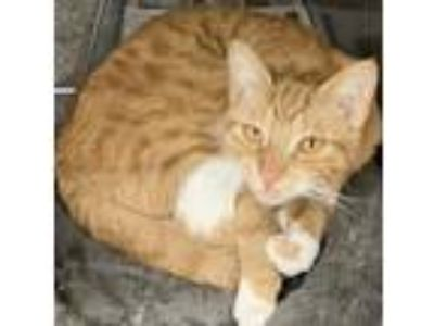 Adopt Ginny a Orange or Red (Mostly) Domestic Shorthair / Mixed (short coat) cat