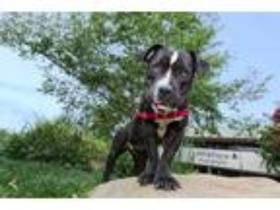 Adopt BUTTERSCOTCH a Black - with White American Pit Bull Terrier / American Pit