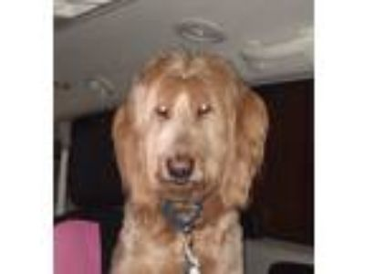 Adopt Boots a Irish Wolfhound, Golden Retriever