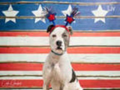 Adopt LIV a White - with Gray or Silver American Pit Bull Terrier / Mixed dog in