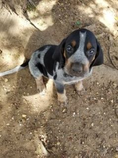 Bluetick Coonhound PUPPY FOR SALE ADN-103827 - Male Bluetick Puppies