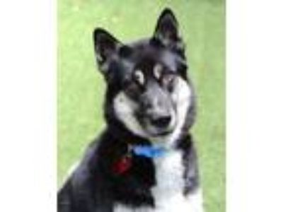 Adopt Max a Siberian Husky / Shepherd (Unknown Type) / Mixed dog in Novato