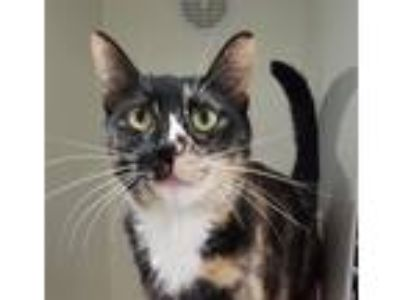 Adopt Navi a Domestic Shorthair / Mixed cat in Oceanside, CA (25933747)
