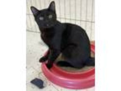 Adopt Raven -- ANOTHER AWESOME BLACK CAT a Black (Mostly) Domestic Shorthair /