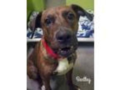 Adopt Bentley a Brindle Labrador Retriever / Boxer / Mixed dog in Altoona