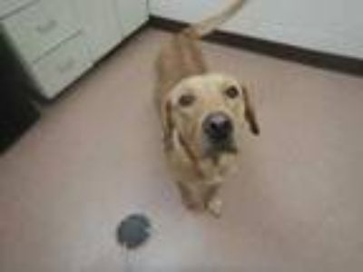 Adopt Oakley a Tan/Yellow/Fawn Labrador Retriever / Mixed dog in Boulder