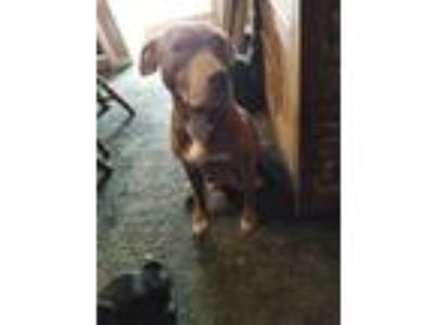 Adopt Greta a Brown/Chocolate Staffordshire Bull Terrier / Mixed dog in Lavalle