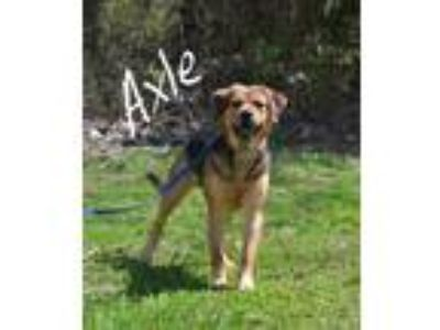 Adopt Axle a Brown/Chocolate - with Black Beagle / Mixed dog in Lebanon