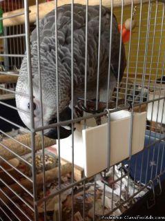 ccfaf,African grey congo babies