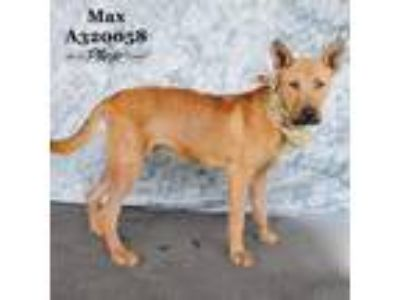 Adopt A320058 a Belgian Shepherd / Malinois, Mixed Breed