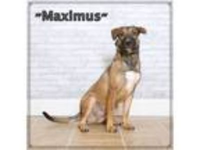 Adopt Maximus a Retriever