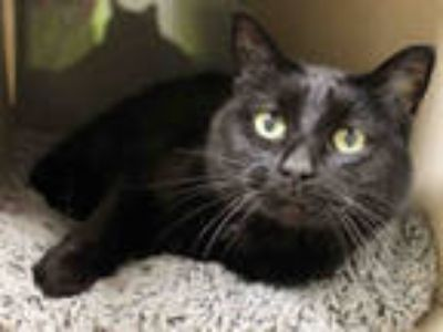 Adopt TRIXIE a All Black Domestic Shorthair / Mixed (short coat) cat in Edmond