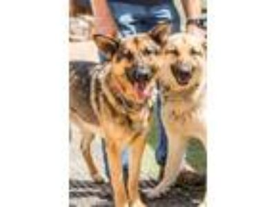 Adopt Gamora & Nebula a German Shepherd Dog