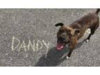 Adopt Dandy a Brindle Terrier (Unknown Type, Small) / Mixed dog in Chattanooga