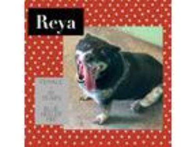 Adopt Reya a Merle Blue Heeler / Mixed dog in Ft. Payne, AL (25784573)