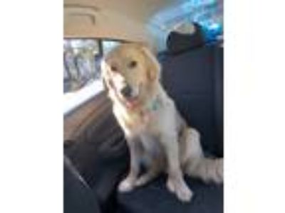 Adopt Sasha a Red/Golden/Orange/Chestnut - with Black Golden Retriever dog in