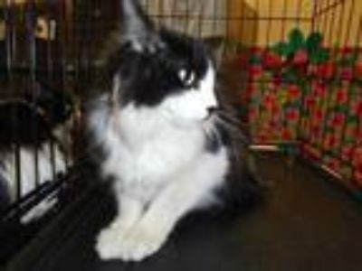 Adopt Cat a Black & White or Tuxedo Domestic Longhair / Mixed (long coat) cat in