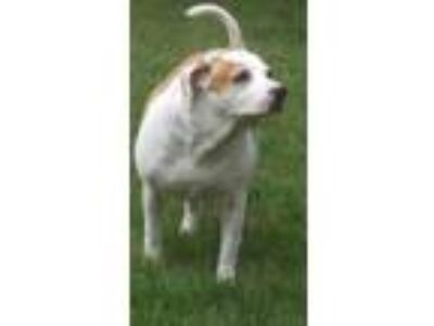 Adopt Wishbone a Beagle, Labrador Retriever