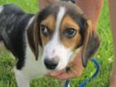 Adopt Gabe a Tricolor (Tan/Brown & Black & White) Beagle / Mixed dog in Mount