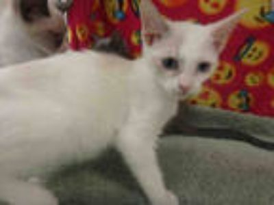 Adopt BELLE a White American Shorthair / Mixed (short coat) cat in Van Nuys
